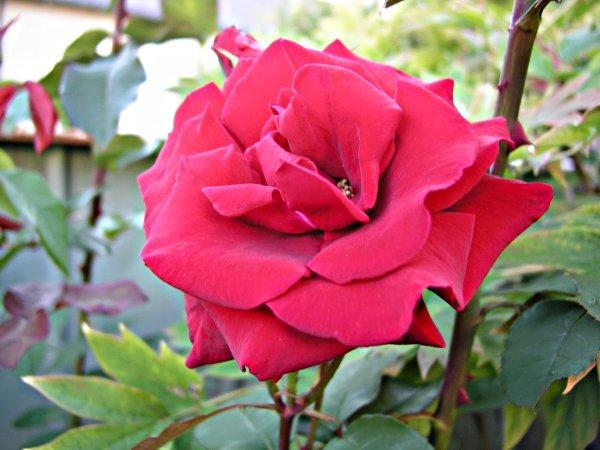 Rose bl?ht